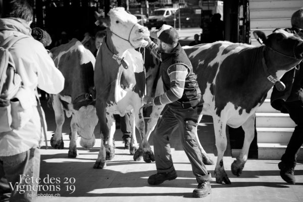 Premières vaches dans l'arène - Animaux, Arène, Armaillis, Répétitions, Vaches, Photographies de la Fête des Vignerons 2019.